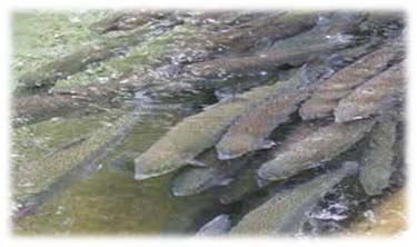fresh fish farming